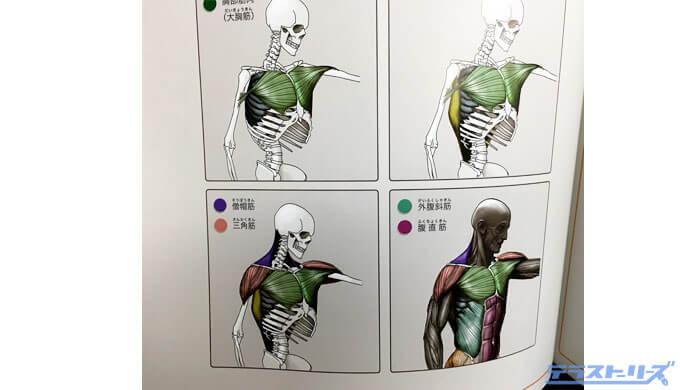 骨格から筋肉のつき方